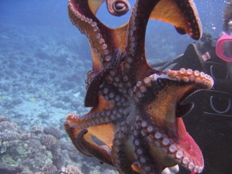 Best Picture Gallery Underwater Octopus Scubaccaviness