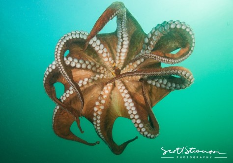 Giant Pacific Octopus Giant