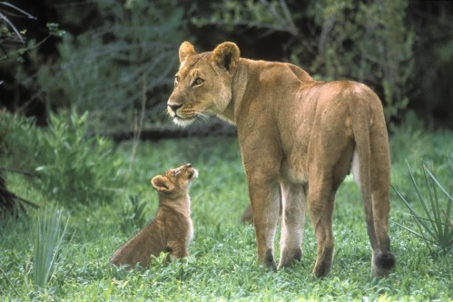 African Lion Mother With Cub Moremi Game Reserve Okavango Delta Botswana Other Wallpaper