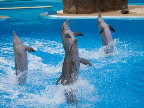 Dolphins Performing At Show Photo Credit