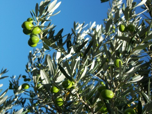 Cool Olives In Chanteduc Movie